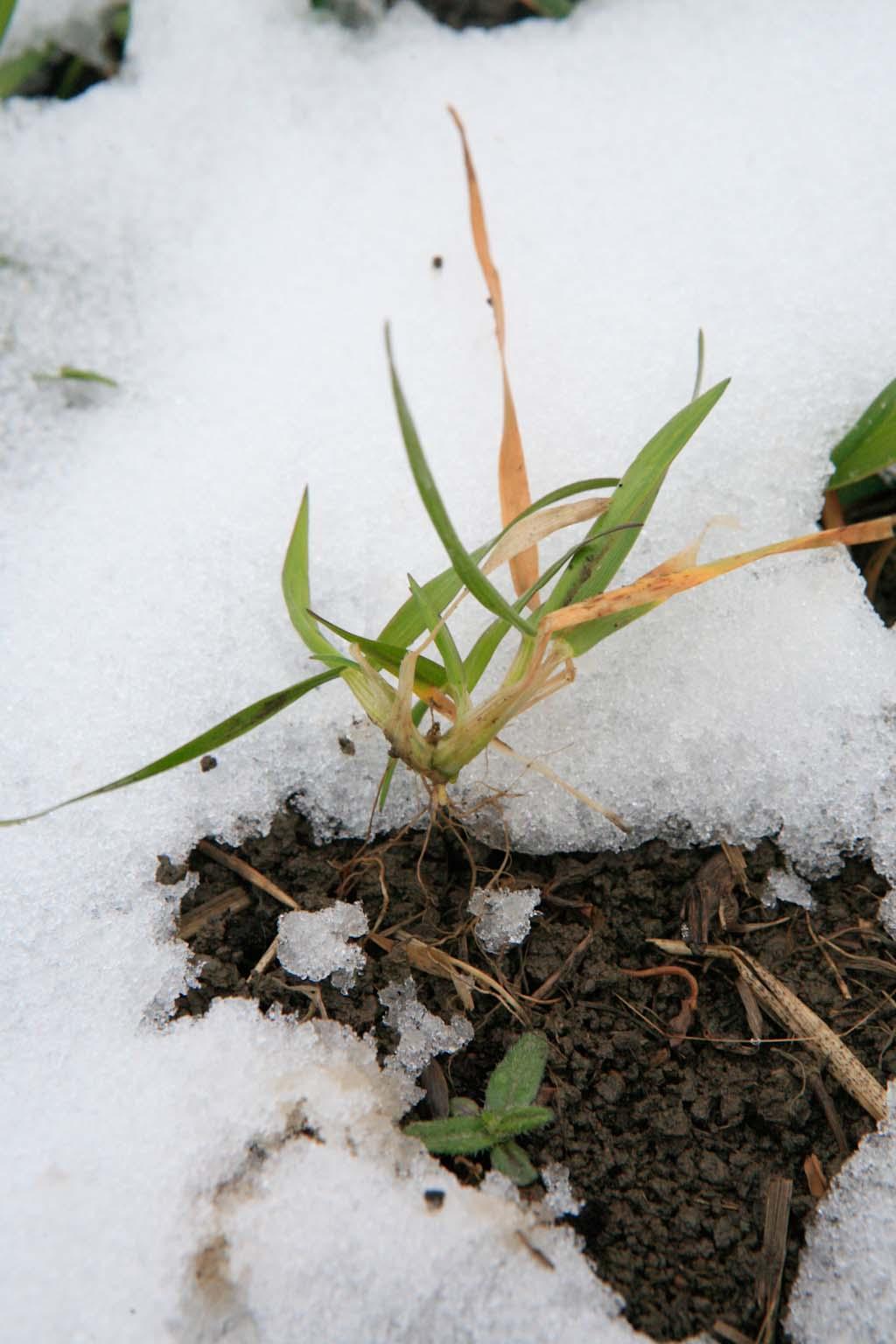 Rouste on paljastanut syysvehnän juuria. Siitä huolimatta kasvi on elinvoimainen, versoo ja työntää uusia juuria maata kohti. Kuva 5.5.2014.