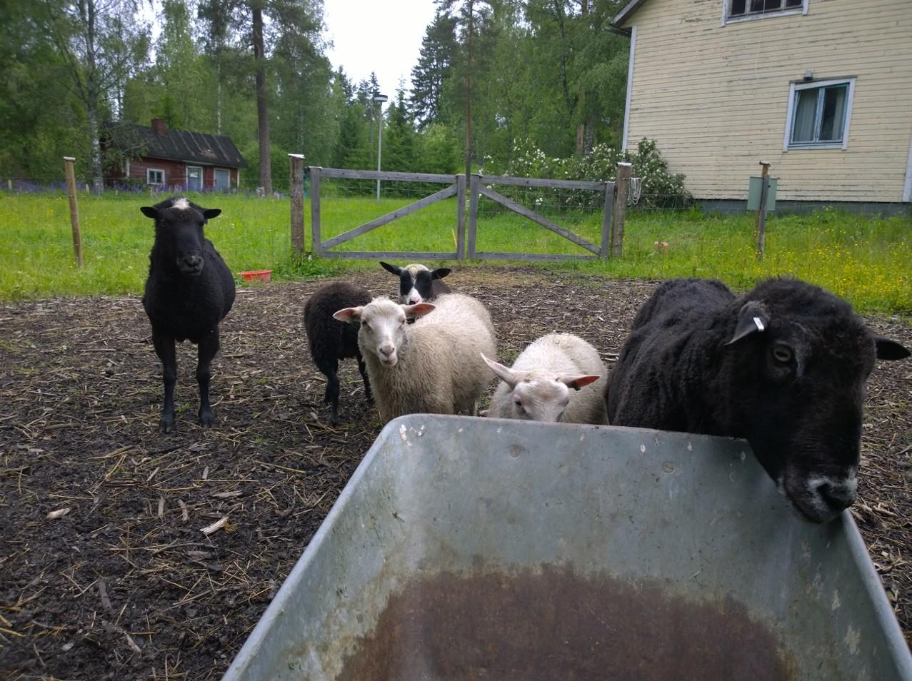 Uteliaat pojat työnjohtajina kun harjoittelija siivoaa lammasmökkiä.